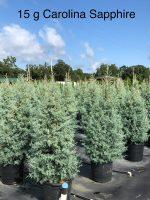 Carolina-Sapphire-15g-Lake-Tree-Growers-600x800