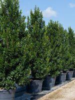 Cherry-Laurel-Lake-Tree-Growers-600x800-1.jpg