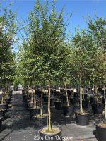 Elm-Bosque-25g-Lake-Tree-Growers-600x800