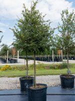 Elm-Cedar-Lake-Tree-Growers-600x800-1.jpg