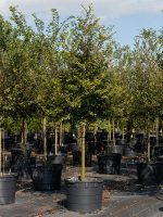 Elm-Lace-Bark-Lake-Tree-Growers-600x800-1.jpg