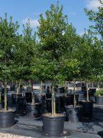 Holly-Eagleston-STD-Lake-Tree-Growers-600x800-1.jpg