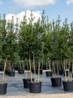 Holly-Eagleston-Triple-Trunk-Lake-Tree-Growers-600x800-1.jpg