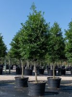 Holly-East-Palatka-STD-Lake-Tree-Growers-600x800-1.jpg