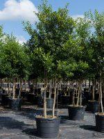 Holly-East-Palatka-Triple-Trunk-Lake-Tree-Growers-600x800-1.jpg