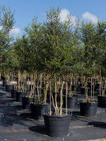 Holly-Kathy-Ann-Batson-Lake-Tree-Growers-600x800-1.jpg