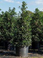Holly-Nellie-R-Stevens-Lake-Tree-Growers-600x800-1.jpg