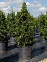 Holly-Oak-Leaf-Lake-Tree-Growers-600x800-1.jpg