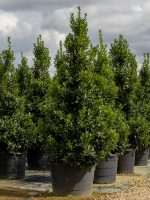 Holly-Oakland-Lake-Tree-Growers-600x800-1.jpg