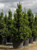 Holly-Oakland-Lake-Tree-Growers-600x800-1.jpg