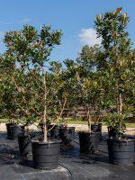 Indian-Hawthorne-Lake-Tree-Growers-600x800-1.jpg