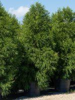 Japanese-Cedar-Lake-Tree-Growers-600x800-1.jpg