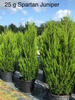 Juniper-Spartan-25g-Lake-Tree-Growers-600x800