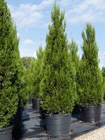 Juniper-Spartan-Lake-Tree-Growers-600x800-1.jpg