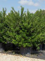 LIgustrum-Recurvifolium-Lake-Tree-Growers-600x800-1.jpg