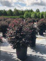Loropetalum-Carolina-Midnight-15g-Lake-Tree-Growers-600x800