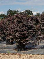 Loropetalum-Carolina-Midnight-Lake-Tree-Growers-600x800-1.jpg