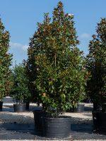Magnolia-Bracken-Brown-Beauty-Lake-Tree-Growers-600x800-1.jpg