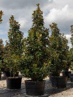 Magnolia-Claudia-Wannamaker-Lake-Tree-Growers-600x800-1.jpg
