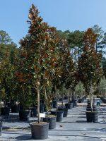 Magnolia-DD-Blanchard-Lake-Tree-Growers-600x800-1.jpg
