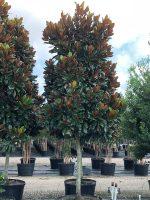 Magnolia-DD-Blanchard-std-100g-Lake-Tree-Growers-600x800