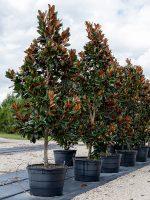 Magnolia-DD-Blanchard-std-Lake-Tree-Growers-600x800-1.jpg
