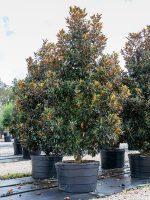 Magnolia-Little-Gem-Lake-Tree-Growers-600x800-1.jpg