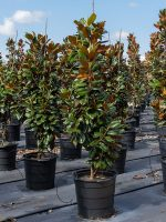 Magnolia-Teddy-Bear-Lake-Tree-Growers-600x800-1.jpg