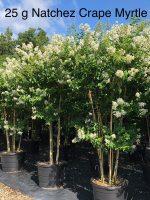 Natchez-Crape-Myrtle-25g-Lake-Tree-Growers-600x800