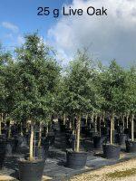 Oak-Live-25g-Lake-Tree-Growers-600x800