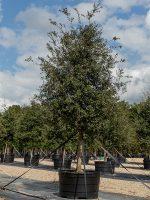 Oak-Live-Lake-Tree-Growers-600x800-1.jpg