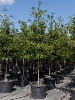 Oak-Nuttall-Lake-Tree-Growers-600x800-1.jpg
