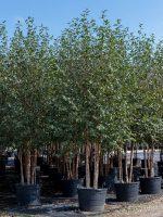 River-Birch-Dura-Heat-Lake-Tree-Growers-600x800-1.jpg