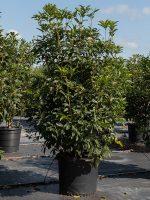 Tea-Olive-Sweet-Lake-Tree-Growers-600x800-1.jpg